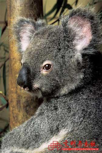 旅游资讯 正文    毛绒绒,可爱的考拉是澳大利亚原产的珍稀动物,也是