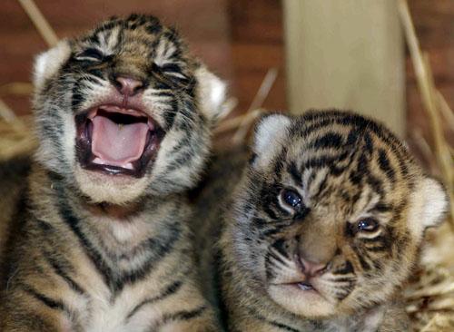 老虎崽头像可爱
