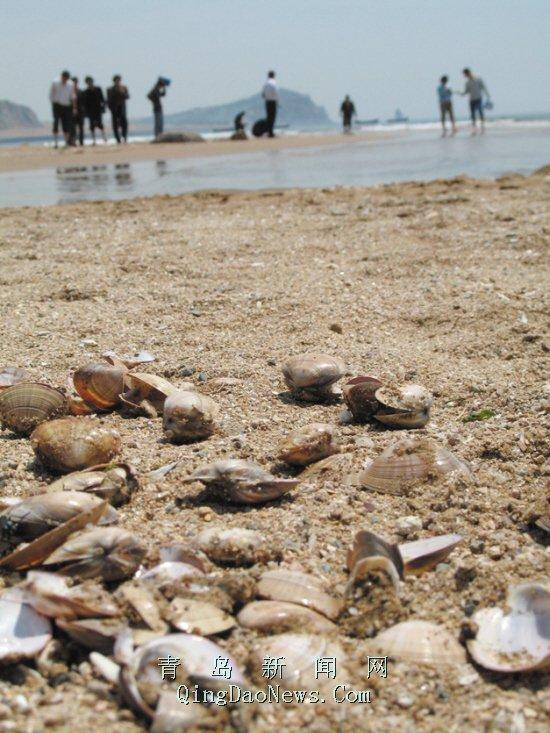 少,看着挺新鲜,可扒开都是死的。其中一名游客告诉记者,他们捡了大约一个多小时,已经捡了大半塑料袋,大约有2.5公斤。   今天已经少多了,昨天那才真叫一挖一麻袋。我在这儿干了六年,从来没见过这种事。在沙滩上卖工艺品的刘先生说,这些蛤蜊是从前天下午开始随着潮水登陆的,当天凌晨左右退潮时,被海水带走了很多。   石老人浴场管理办公室的工作人员证实了这一说法,他告诉记者,这种蛤蜊叫沙蛤,可以食用,但肉比较硬,味道没有市场上的蛤蜊鲜美,而且沙子比较多,上一次沙蛤蜊漫滩的情况是20世纪80年代末,后来一