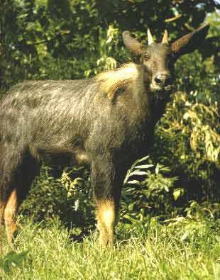 国家珍稀动物 天马 被无知村民误杀