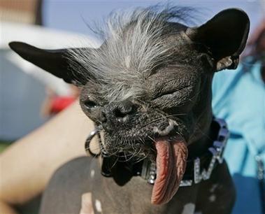 世界上最丑的狗全身黑溜溜的,没有毛发,只有头上的一小撮白毛.-图片