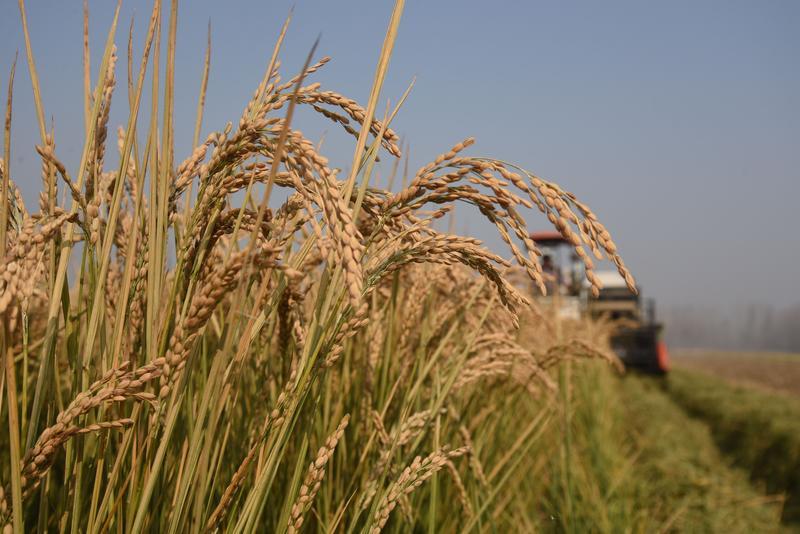 稻粒飘香!沂蒙老区水稻丰收