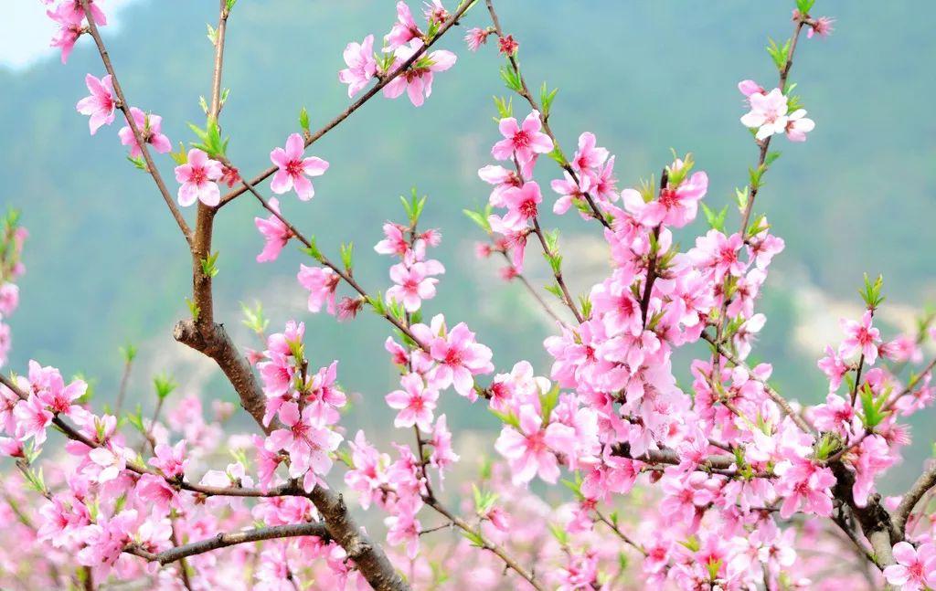 在安丘与桃花来一场艳遇——全国网络媒体走进桃海