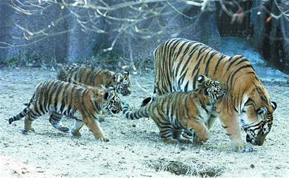 """头条图片 > 正文    """"看,这些小老虎真可爱."""
