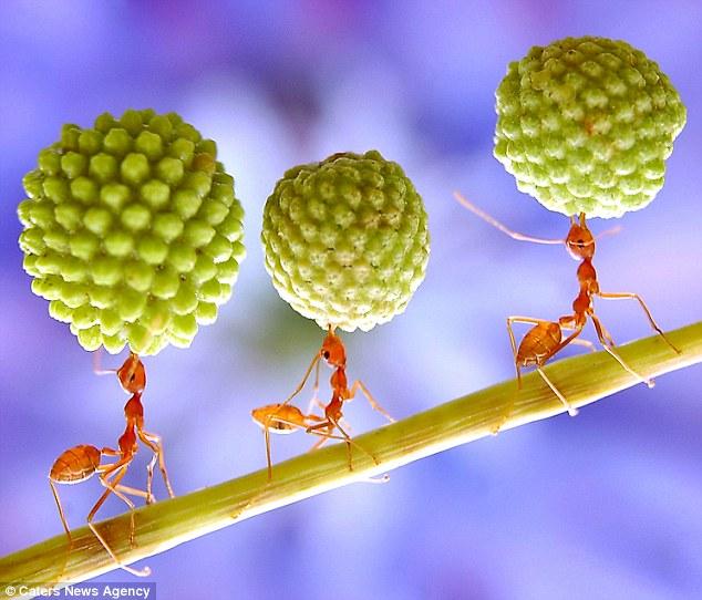 拍摄到蚂蚁在合欢树上搬运荚果种子的场景