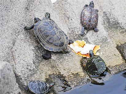 小乌龟浮在水面_危险巴西龟入侵青岛 群龟啃食小鱼触目惊心 - 青岛新闻网