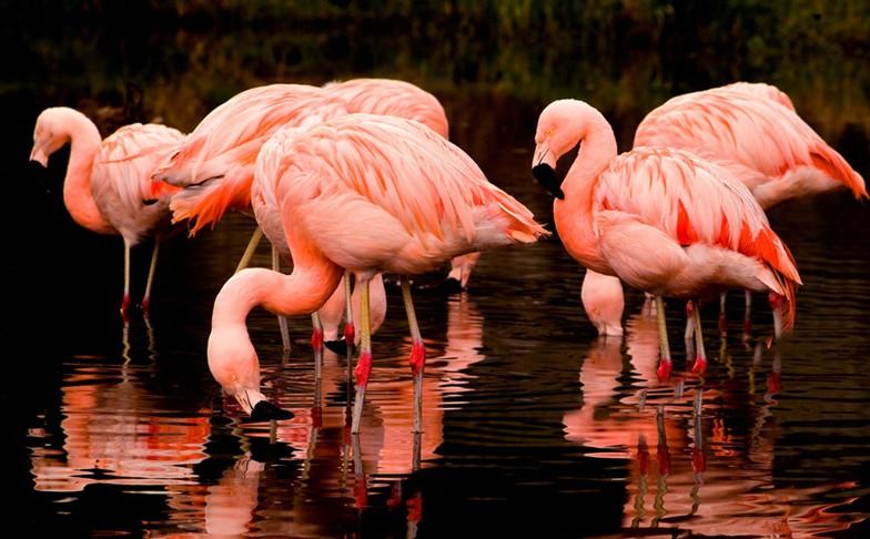 火烈鸟作为世界二级保护动物