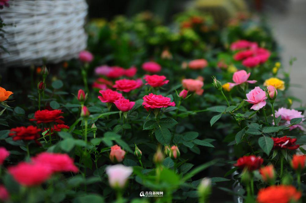 、蝴蝶兰、欧洲玫瑰等品种受宠,温室中娇嫩的花朵格外惹人怜爱.图片