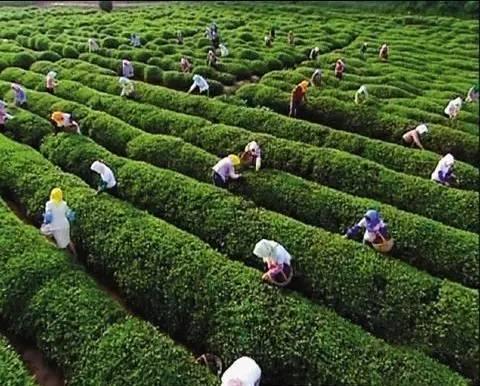 """海青镇是国家""""北方万亩茶园基地"""",被誉为""""青岛茶叶之乡"""" ,种植海青茶"""