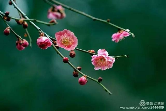 近日青岛气温攀升,中山公园梅花悄然开放