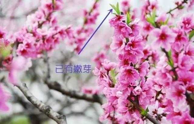 桃花开花时,树枝上已有嫩芽,如下图所示:   而梅花开花时,树枝上是