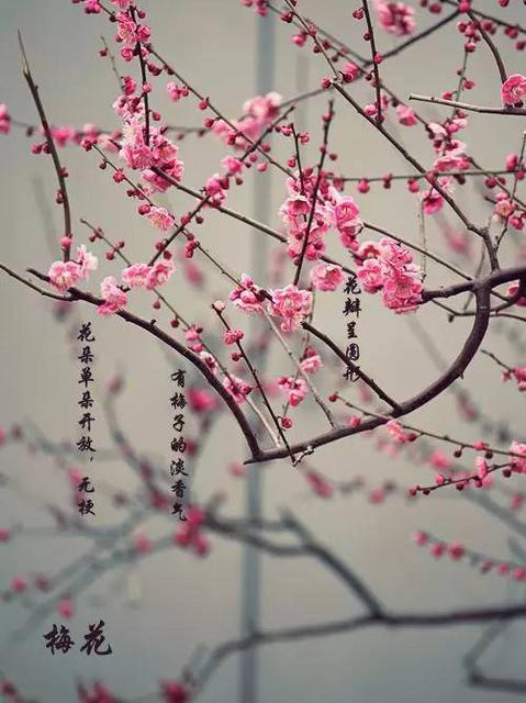 梅花花朵单朵开放,无梗,花瓣接近正圆形.