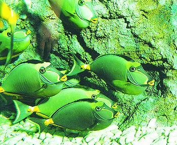 鼻子上有刺的鱼-狐兰子鱼喜欢吃生菜,它们的吃相也很逗人.