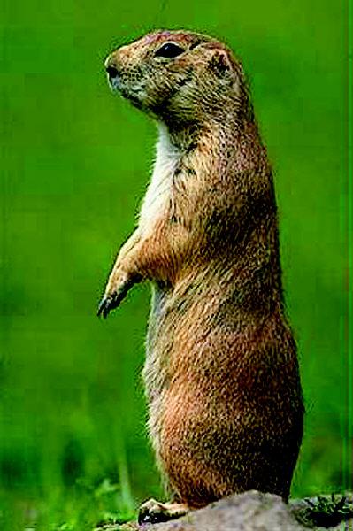 可的土拨鼠竟然带来&quot猴痘&quot