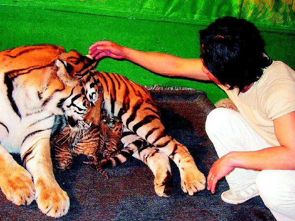 很像老虎的彪图片