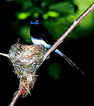 喜鹊不大,刚会飞,听说是从树上掉下来的,被收养在水吧里.